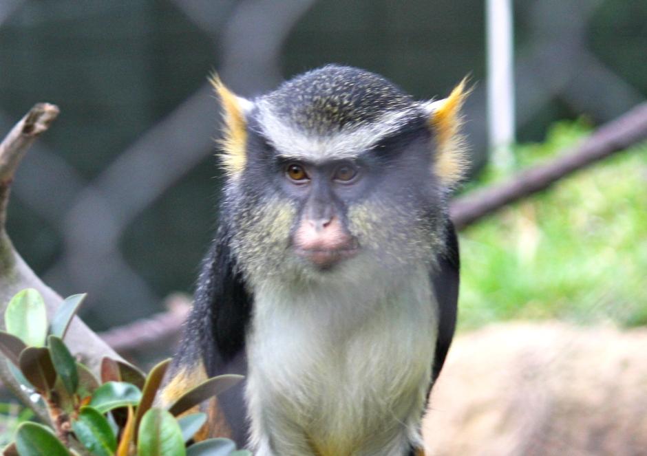 Tufted Capuchin