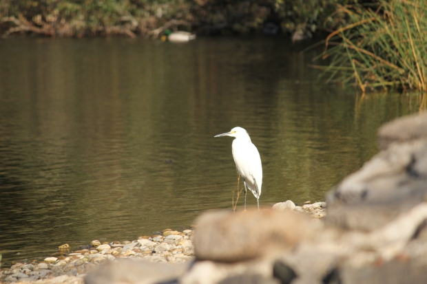 A White Egret from a PREVIOUS visit to Old Mission Dam