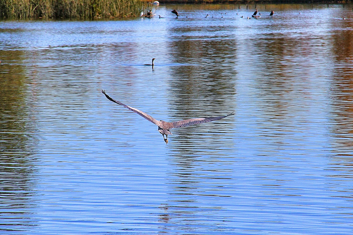 Blue Heron on wing