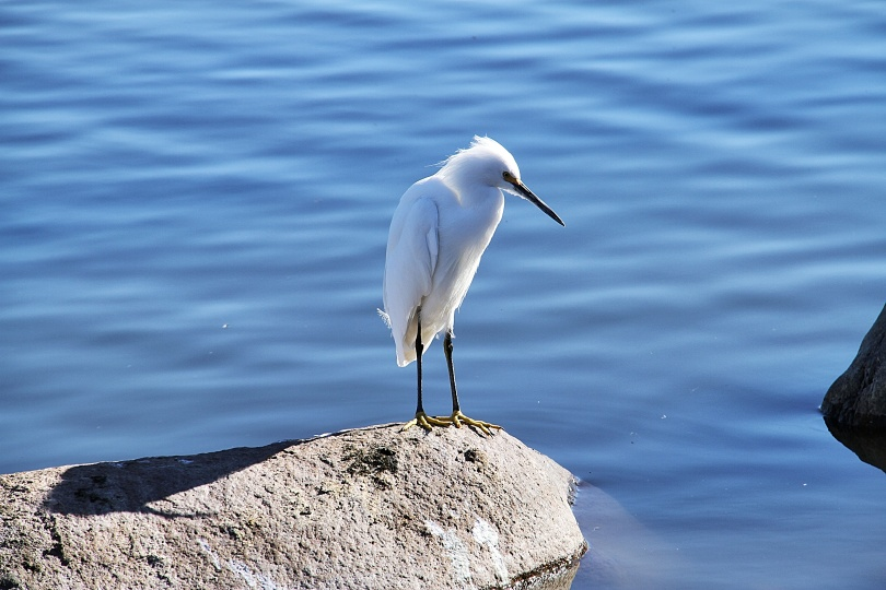 Shortly after the heron flew away this white egret perched on the same rock