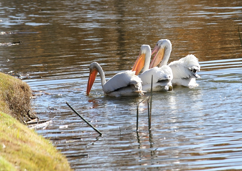 Three white pelicans feed along the lake shore