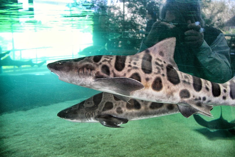 Leopard sharks at the aquarium at the Chula Vista Nature Center.  These non-aggressive sharks are common in San Diego Bay