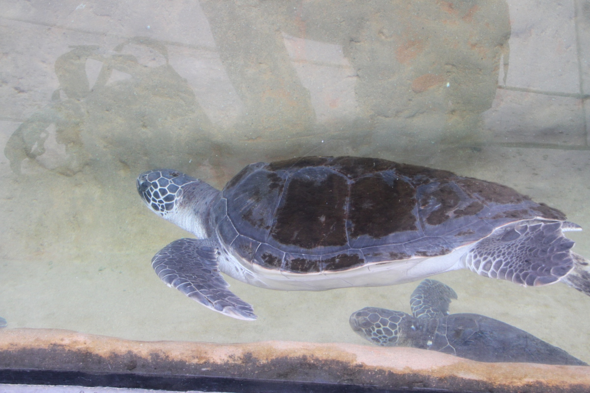 Sea Turtles at the Nature Center