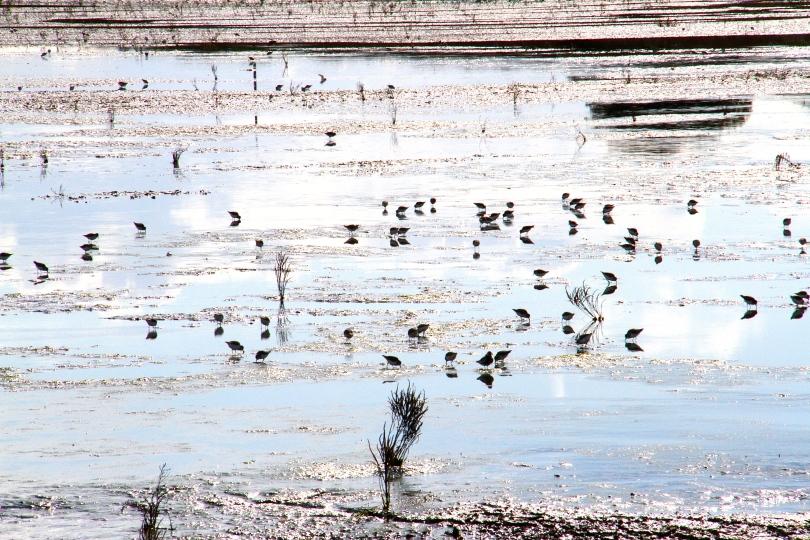 Feeding shore birds in the mud flats