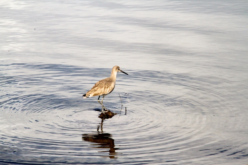 A Marbled Godwit, one of the many migratory birds that visit San Diego Bay each winter