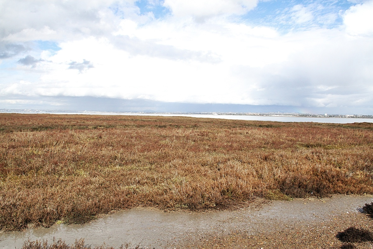 The salt marshes on San Diego Bay is a favorite stop for migrating birds on the Pacific flyway