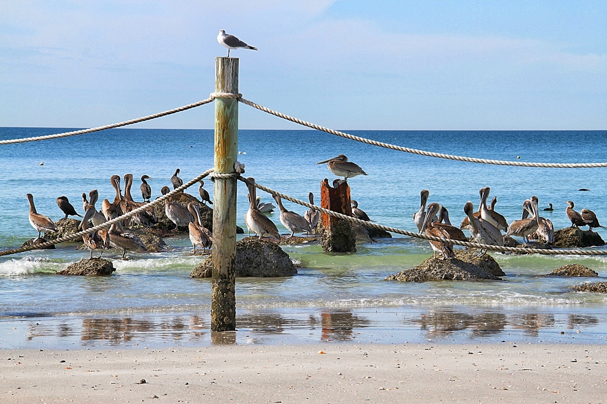 Pelicans enjoy the beach at Indian Shores Beach near Tampa, Florida