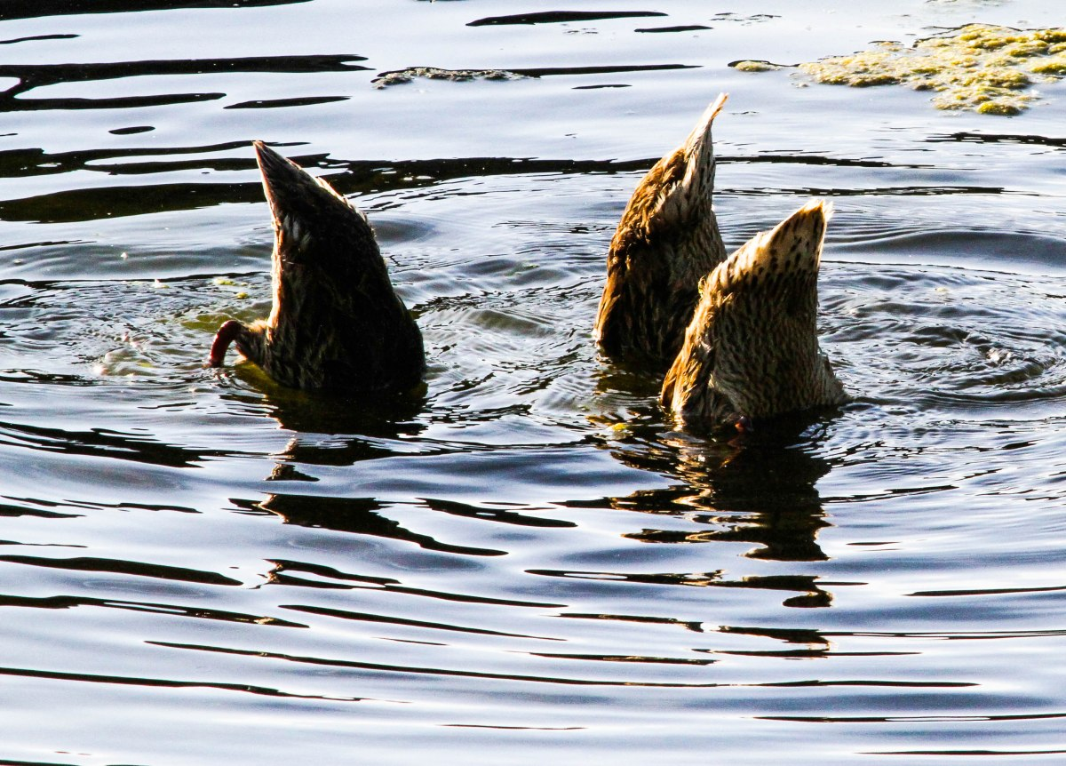 Bottoms up!  Three Mallard hens were chowing down in the shallow water.