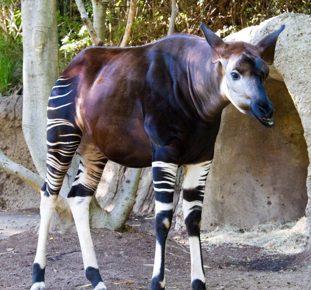 Okapi's are cool!