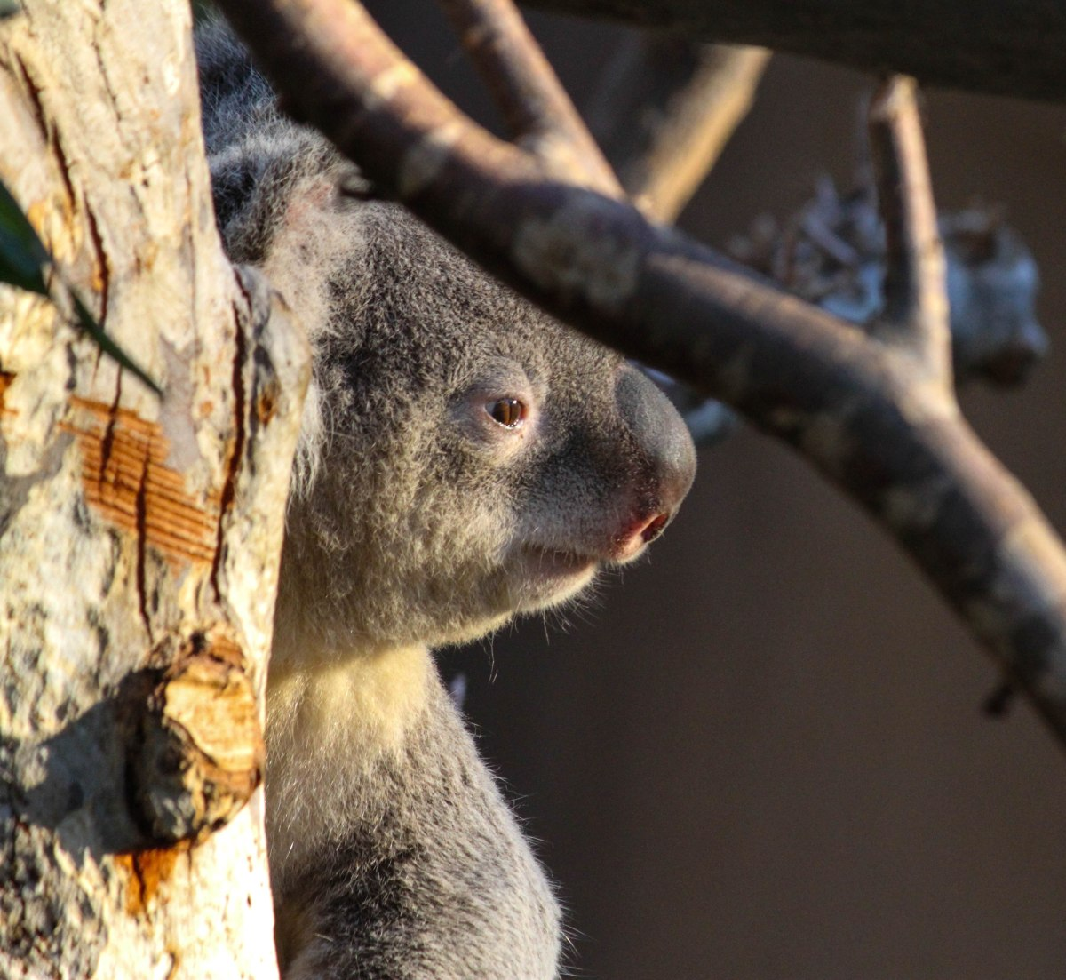A koala peeks around a tree holding up her nest in the new Outback Koala exhibit.  Koalas are not monkeys either.
