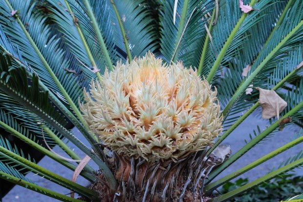 Sitting next to the male Sago Palm was this alluring female sago plant ready to receive pollen.
