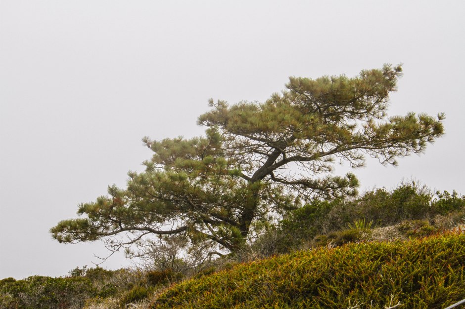 Many of the famous trees are bent and gnarled from the coastal winds and form picturesque shapes against a fascinating landscape.