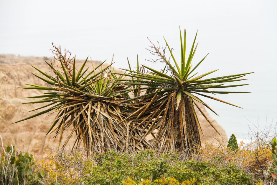 Mojave Yucca plants stand atop the beach bluffs.