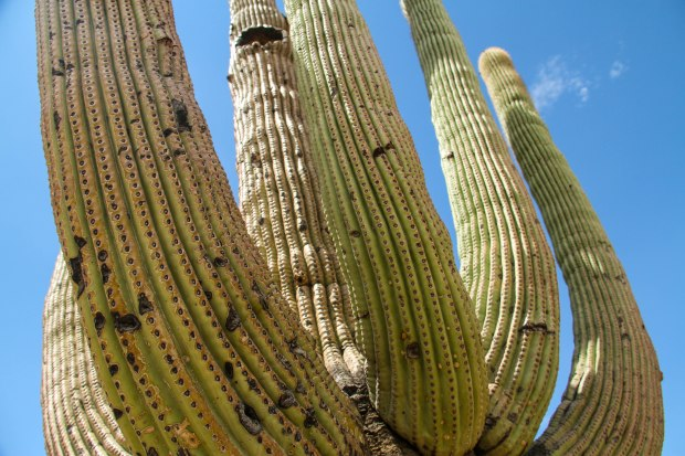 Up close to a Saguaro cactus tree.
