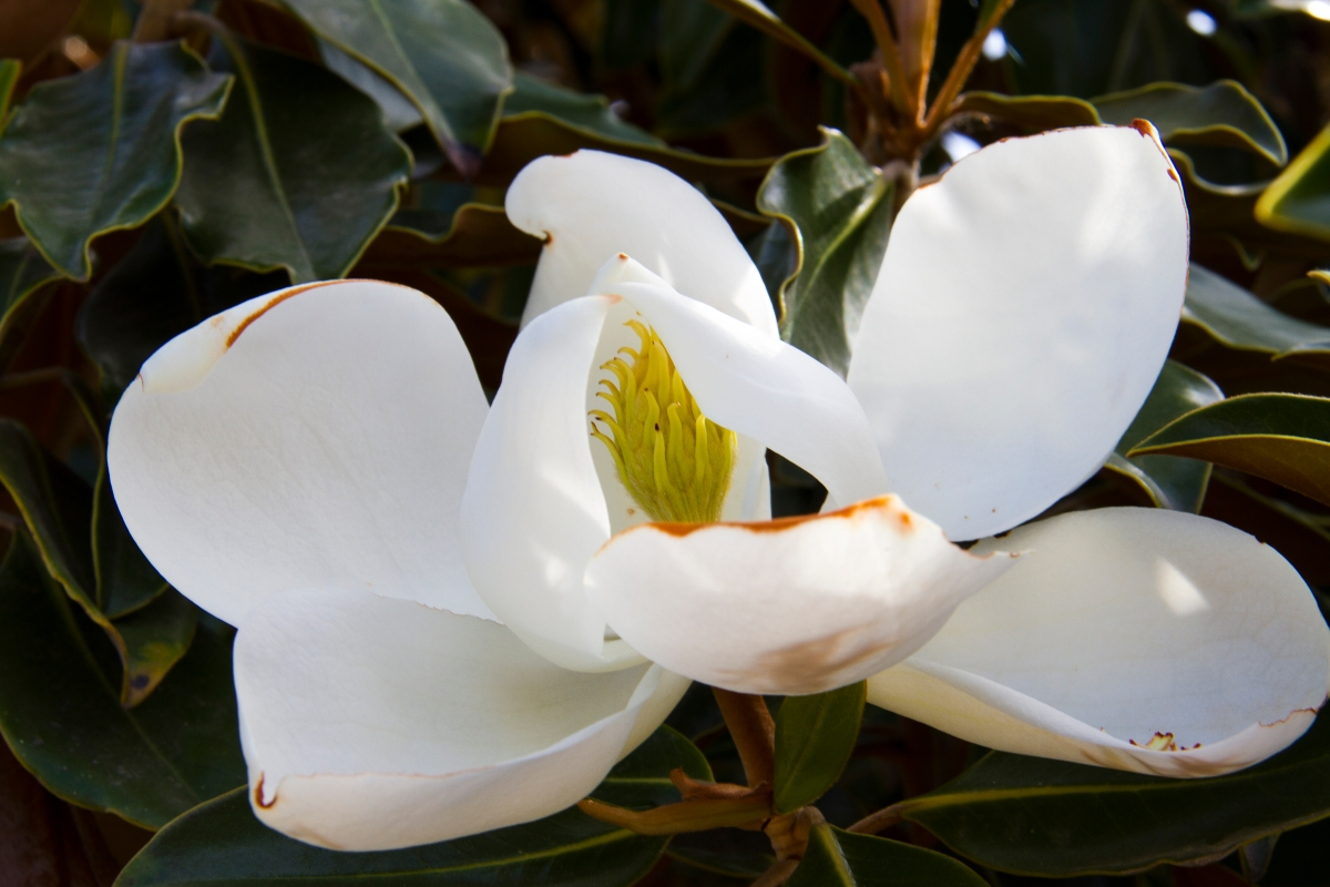 A magnolia blossom hides the seed pod