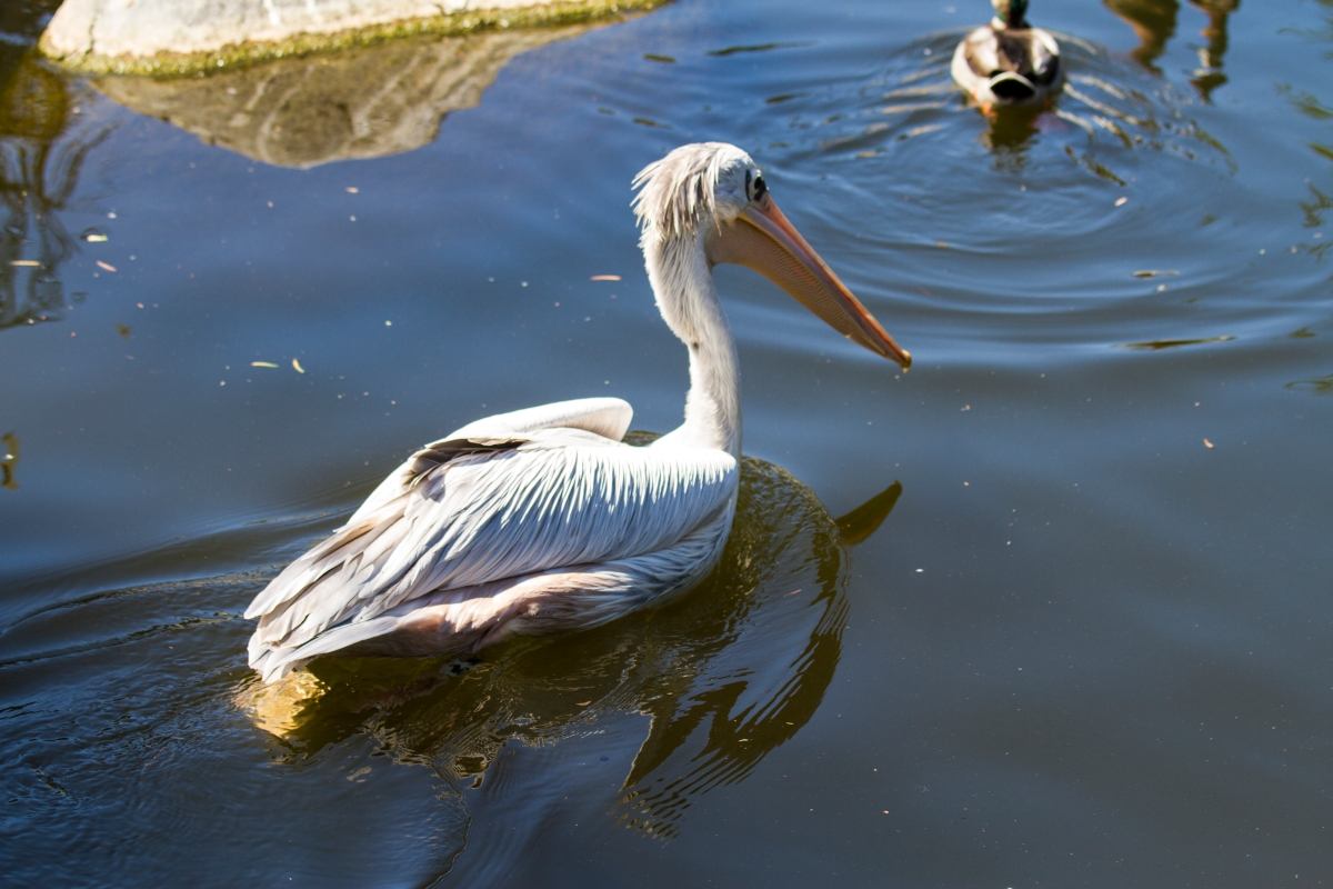 While not directly eye-to-eye, Kongo really liked this image of a white pelican.  He reminded him of a cartoon character.