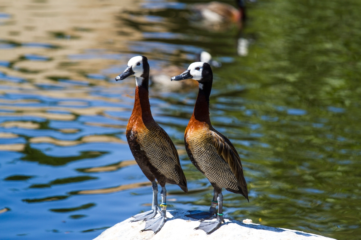 This pair of whistling ducks boldly eyed the monkey as he took their picture