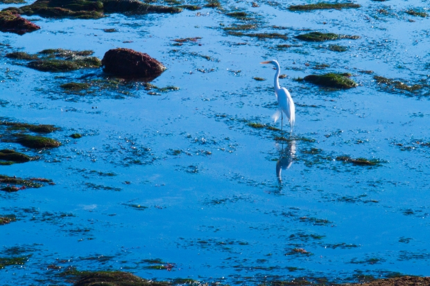 An egret searches for its New Year's Eve dinner among the shallows by Sunset Cliffs.