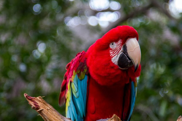 """The Macaw leaned over and said """"Hi"""" as Kongo was lining up for a shot."""