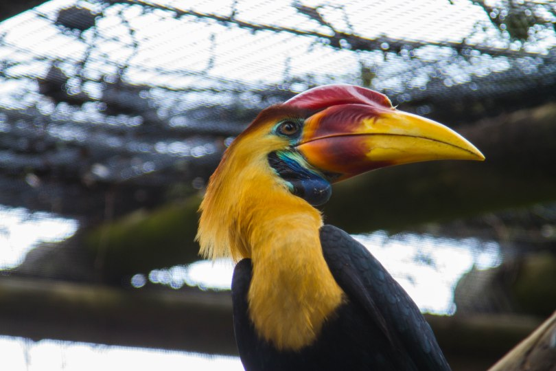 This hornbill shows off its spectacular colors.