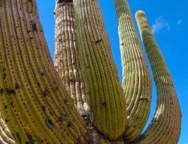 Green & Blue. Saguaro cactus near Tucson.