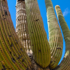 Green & Blue. Saguaro cactus near Tucson.