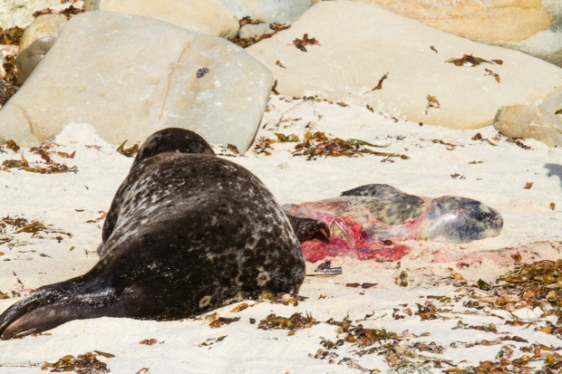 This seal had just delivered and you can still see the embryonic sack covering the newly arrived pup.