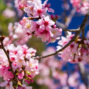 Pink Cherry Blossoms at San Diego's Japanese Tea Gardens