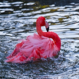 A quivering pink flamingo