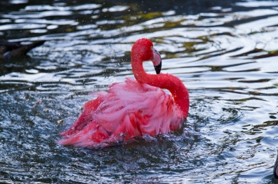 A quivering pink flamingo