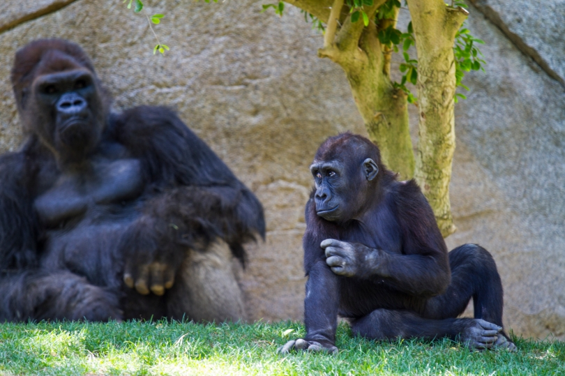 After getting knocked away, the little gorilla sneaks a peak at big daddy to see if he's still mad.