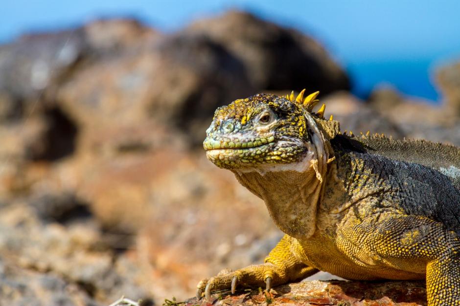 Land iguanas