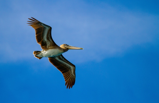 A pelican on wing in the Galapagos