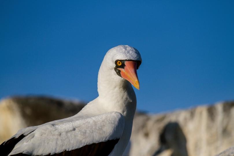 Nasca booby