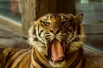 This tiger shows off his four-inch teeth to visitors on the other side of the glass.