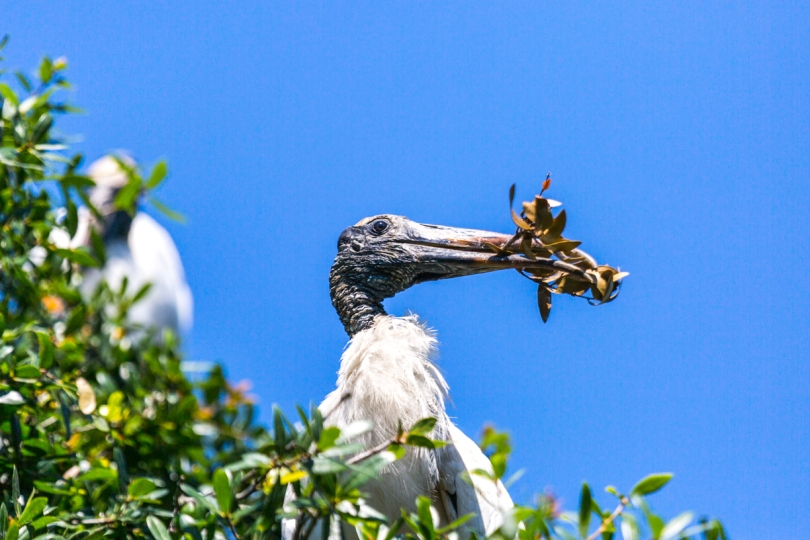A wood stork gathers nesting material