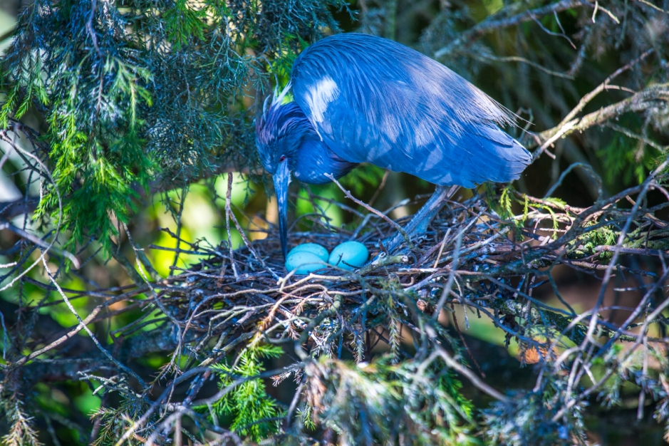 A Tri-colored Heron minds her nest eggs