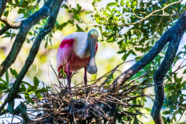 A Roseate Spoonbill watches its nest