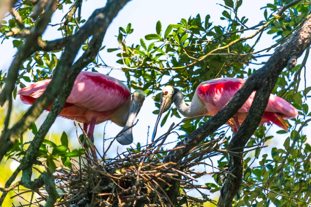 A pair of Roseate Spoonbills.