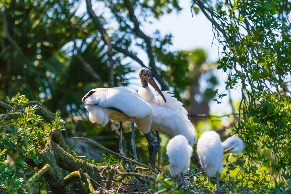 A mother Wood Stork with young hatchlings
