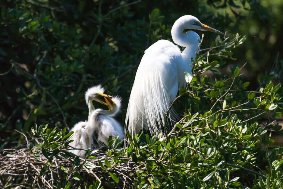 A Great Egret and its young in the nest