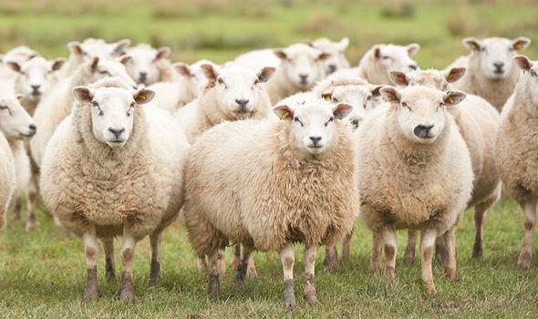sheep-617128